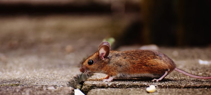 How to Prevent and Remove Mice From Your House